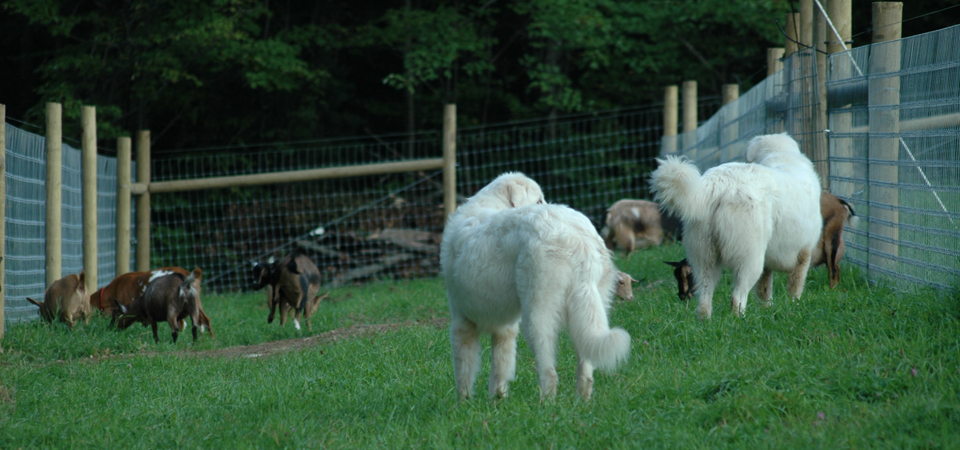 Livestock Guardian Dogs image